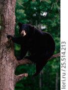 Black bear juvenile in tree (Ursus americanus). Minnesota, USA. Стоковое фото, фотограф Thomas Lazar / Nature Picture Library / Фотобанк Лори