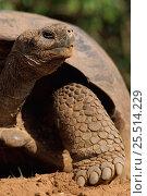 Portrait of Giant tortoise {Geochelone elephantopus}. Galapagos, Ecuador. Стоковое фото, фотограф Staffan Widstrand / Nature Picture Library / Фотобанк Лори