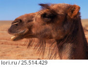 Купить «Domestic Bactrian camel {Camelus bactrianus} - hair round eyes is adaptation to deserts, prevent sand blowing in eyes. Gobi desert, Mongolia. (Hair is...», фото № 25514429, снято 16 июля 2018 г. (c) Nature Picture Library / Фотобанк Лори