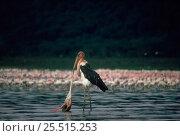 Marabou stork (Leptoptilos crumeniferus) feeding on dead flamingo. Lake Nakuru NP, Kenya, East Africa. Стоковое фото, фотограф Jabruson / Nature Picture Library / Фотобанк Лори