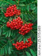 Купить «Rowan berries {Sorbus aucuparia} Edzell, Angus ,Scotland», фото № 25515689, снято 27 апреля 2018 г. (c) Nature Picture Library / Фотобанк Лори