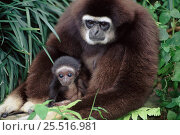 White-handed gibbon with young. Native to South-East Asia. Стоковое фото, фотограф Anup Shah / Nature Picture Library / Фотобанк Лори