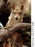 Купить «Indian wolf (Grey wolf) - rare in India», фото № 25517245, снято 17 августа 2018 г. (c) Nature Picture Library / Фотобанк Лори