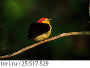 Купить «Wire tailed manakin (Teleonema filicauda) displaying. Yasuni NP, Amazon, Ecuador, South America», фото № 25517529, снято 26 марта 2019 г. (c) Nature Picture Library / Фотобанк Лори