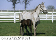 Купить «Lipizzaner horse mare with foal {Equus caballus}  Temple farm, Wadsworth, Illinois, USA», фото № 25518581, снято 16 августа 2018 г. (c) Nature Picture Library / Фотобанк Лори