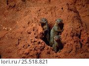 Dwarf mongoose {Helogale parvula} group at burrow in termite mound, Tsavo East NP, Kenya. Стоковое фото, фотограф Jabruson / Nature Picture Library / Фотобанк Лори