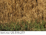 Купить «American bittern {Botaurus lentiginosus} camouflaged in reeds, Florida, USA», фото № 25519277, снято 21 февраля 2019 г. (c) Nature Picture Library / Фотобанк Лори