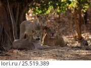 Купить «Asiatic lioness and sub-adult group [Panthera leo persica} Gir Forest, India.», фото № 25519389, снято 19 июля 2018 г. (c) Nature Picture Library / Фотобанк Лори