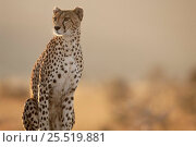 Купить «Cheetah  female 'Frisky' Masai Mara NP Kenya.», фото № 25519881, снято 12 июля 2020 г. (c) Nature Picture Library / Фотобанк Лори