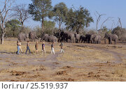 Купить «Walking safari in Chobe NP, tourists viewing elephants. Botswana, Southern-Africa.», фото № 25519937, снято 23 июля 2018 г. (c) Nature Picture Library / Фотобанк Лори