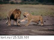 Купить «Lioness snarling at male (Panthera leo). Masai Mara, Kenya, East Africa», фото № 25520101, снято 24 января 2020 г. (c) Nature Picture Library / Фотобанк Лори