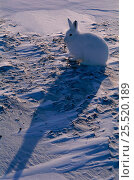 Купить «Arctic hare on snow with long shadow {Lepus arcticus} Ellesmere Is, NT, Canada.», фото № 25520189, снято 22 мая 2018 г. (c) Nature Picture Library / Фотобанк Лори