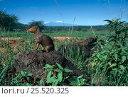 Dwarf mongoose {Helogale parvula} on termite mound, Tsavo East NP, Kenya. Стоковое фото, фотограф Jabruson / Nature Picture Library / Фотобанк Лори