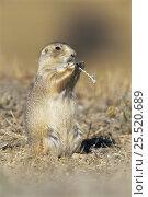Купить «Black tailed prairie dog feeding (Cynomys ludovicianus) USA», фото № 25520689, снято 2 июня 2020 г. (c) Nature Picture Library / Фотобанк Лори