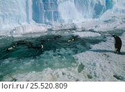 Emperor penguins (Apenodytes forsteri) in sea among ice, Auster rookery, Australian Territory, Antarctica. Стоковое фото, фотограф Pete Oxford / Nature Picture Library / Фотобанк Лори