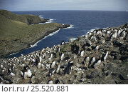 Macaroni penguin {Eudyptes chrysolophus} rookery with around 80,000 pairs on Bird Island, South Georgia. Стоковое фото, фотограф Martha Holmes / Nature Picture Library / Фотобанк Лори