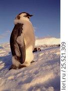 Купить «Emperor penguin juvenile moult {Aptenodytes forsteri} Australian Antarctic Territory», фото № 25521309, снято 25 мая 2019 г. (c) Nature Picture Library / Фотобанк Лори