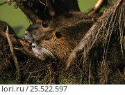 Coypu / Nutria (Myocastor coypus) pair in swamp, Louisiana, USA. Стоковое фото, фотограф John Cancalosi / Nature Picture Library / Фотобанк Лори