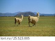 Llama with young (Llama glama) Laguna de Los Pozuelos NP, Andes, Argentina. Стоковое фото, фотограф Ross Couper-Johnston / Nature Picture Library / Фотобанк Лори