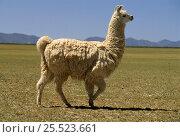 Llama, Laguna de Los Pozuelos National Park, Andes, Argentina. Стоковое фото, фотограф Ross Couper-Johnston / Nature Picture Library / Фотобанк Лори