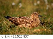 Great skua on nest, Shetland Islands, Scotland. Стоковое фото, фотограф John Cancalosi / Nature Picture Library / Фотобанк Лори