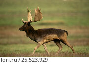 Fallow deer male in rut (Dama dama) UK. Стоковое фото, фотограф John Cancalosi / Nature Picture Library / Фотобанк Лори