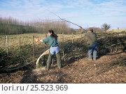 Купить «Traditional hedge layering. Sussex, UK. Cut and laid hedge», фото № 25523969, снято 19 августа 2018 г. (c) Nature Picture Library / Фотобанк Лори
