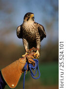 Peregrine falcon (Falco peregrinus) with falconer C England UK. Стоковое фото, фотограф Nick Garbutt / Nature Picture Library / Фотобанк Лори