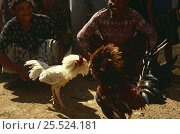 Купить «Cock {Gallus gallus domesticus} fighting, Bali, Indonesia», фото № 25524181, снято 17 августа 2018 г. (c) Nature Picture Library / Фотобанк Лори