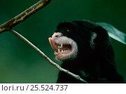 Купить «White-lipped tamarin tongue flicking (Saguineus labiatus) Amazonia, Brazil», фото № 25524737, снято 27 мая 2019 г. (c) Nature Picture Library / Фотобанк Лори