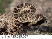 Купить «Eastern diamondback rattlesnake scenting air with tongue, Florida, USA», фото № 25525037, снято 17 января 2019 г. (c) Nature Picture Library / Фотобанк Лори