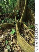 Купить «Buttress roots (Ficus sp) in Manu NP, Peru, South America», фото № 25525045, снято 23 марта 2019 г. (c) Nature Picture Library / Фотобанк Лори