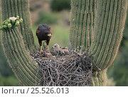 Harris' hawk (Parabuteo unicinctus) at nest in saguaro cactus Arizona... Стоковое фото, фотограф John Cancalosi / Nature Picture Library / Фотобанк Лори