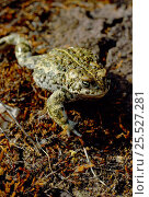 Natterjack toad  (Bufo calamita) England. Стоковое фото, фотограф Chris Packham / Nature Picture Library / Фотобанк Лори