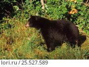 Male Black bear (Ursus americanus) in woods. Minnesota, USA. Стоковое фото, фотограф Thomas Lazar / Nature Picture Library / Фотобанк Лори