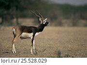 Male Blackbuck (Antilope cervicapra) Rajasthan, India. Стоковое фото, фотограф Bernard Castelein / Nature Picture Library / Фотобанк Лори