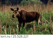 Купить «Moose (Alces alces) or European Elk in grass. Mazury Poland», фото № 25528221, снято 16 августа 2018 г. (c) Nature Picture Library / Фотобанк Лори