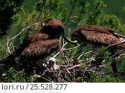 Купить «Short toed eagle {Circaetus gallicus} brings snake to chicks in nest. Spain», фото № 25528277, снято 15 сентября 2019 г. (c) Nature Picture Library / Фотобанк Лори