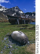 Купить «Southern elephant seal {Mirounga leonina} weaner resting on ground with whaling station in background, Grytviken, South Georgia.», фото № 25528325, снято 3 июля 2020 г. (c) Nature Picture Library / Фотобанк Лори
