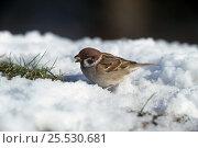 Купить «Tree sparrow in snow (Passer montanus) UK», фото № 25530681, снято 15 декабря 2017 г. (c) Nature Picture Library / Фотобанк Лори