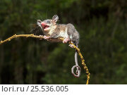 Murine Opossum (Marmosa murina) adult,  Mindo area,   Ecuador. Стоковое фото, фотограф Melvin Grey / Nature Picture Library / Фотобанк Лори