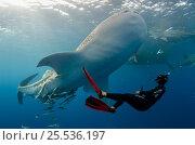 Купить «Whale shark (Rhincodon typus) with scuba diving tourist, Cenderawasih Bay, West Papua, Indonesia.», фото № 25536197, снято 26 марта 2019 г. (c) Nature Picture Library / Фотобанк Лори