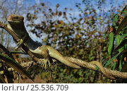 Купить «Solomon islands / large prehensile-tailed Skink (Corucia zebrata) on branch, Solomon islands», фото № 25536709, снято 19 июня 2019 г. (c) Nature Picture Library / Фотобанк Лори