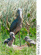 Купить «Shoebill (Balaeniceps rex) and chicks on nest, Bengwelu Swamp, Zambia. Photograph taken on location for BBC Africa series,  August 2010.», фото № 25536773, снято 20 января 2020 г. (c) Nature Picture Library / Фотобанк Лори