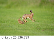 European hares (Lepus europaeus) leveret jumping, UK, June. Стоковое фото, фотограф Andy Rouse / Nature Picture Library / Фотобанк Лори