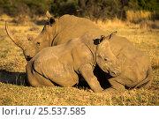 Купить «White rhinoceros (Ceratotherium simum) Entabeni Safari Conservancy, Limpopo region, Waterberg, South Africa, October», фото № 25537585, снято 23 июля 2018 г. (c) Nature Picture Library / Фотобанк Лори