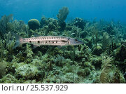 Купить «Great barracuda (Sphyraena barracuda) Jardines de la Reina National Park, Cuba, Caribbean», фото № 25537929, снято 22 марта 2019 г. (c) Nature Picture Library / Фотобанк Лори