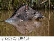 Brazilian tapir (Tapirus terrestris) swimming, Rewa River, Iwokrama Reserve, Guyana, Vulnerable species. Стоковое фото, фотограф Pete Oxford / Nature Picture Library / Фотобанк Лори