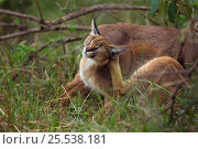 Купить «Caracal (Caracal caracal) two si xmonths kittens, one scratching, Masai Mara National Reserve, Kenya, August», фото № 25538181, снято 13 июля 2020 г. (c) Nature Picture Library / Фотобанк Лори