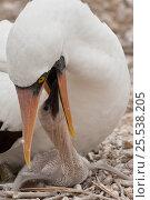 Nazca booby (Sula granti) adult feeding chick, Isla de la Plata, Machalla National Park, Ecuador. Стоковое фото, фотограф Pete Oxford / Nature Picture Library / Фотобанк Лори